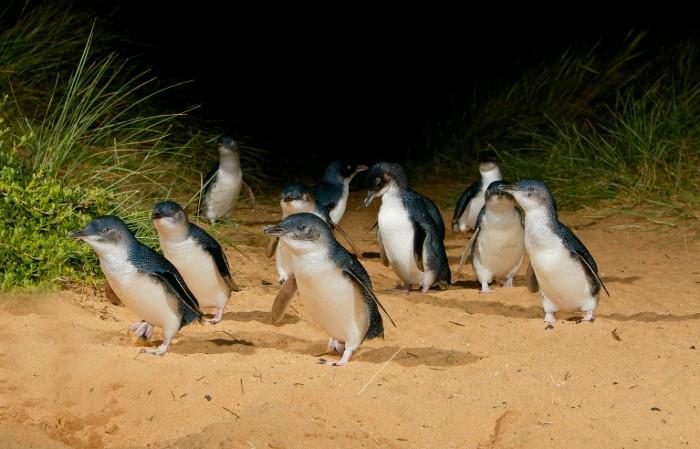 Phillip Island pingwiny