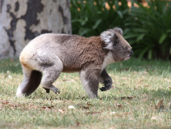 Raymond Island okolice Melbourne koale